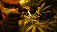 Italiens Soldaten bauen Cannabis an