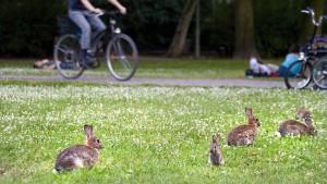 Machtlos gegen die Kaninchen-Seuche