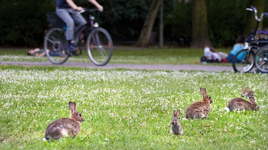 Seit Jahren bevölkern Kaninchen in großer Zahl die Grünanlagen Frankfurts.