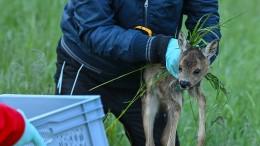 Besonders viele Tiere fallen Mähmaschinen zum Opfer