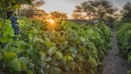Trauben der Neuras Winery: Aus ihnen werden ein Shiraz und ein Cuvée aus Shiraz, Merlot und Petit Verdot hergestellt.