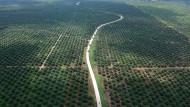 Aufforstung statt Abholzung? Malaysia verspricht, dass trotz Palmölplantagen der Regenwald geschont wird.