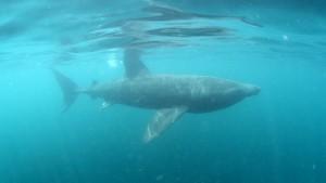 Riesenhai in dänischen Gewässern gesichtet