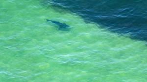 Surfen mit einem Weißen Hai