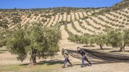 Warum aus spanischen Oliven oft italienisches Olivenöl wird