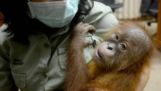 Orang-Utan befreit sich aus Koffer