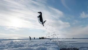 Wie Pinguine es schaffen, Seeleoparden auszutricksen