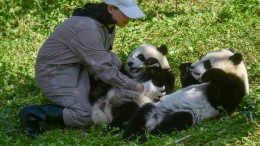 Panda-Zwillinge haben ihren großen Auftritt
