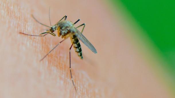 Viele Stechmücken in diesem Sommer