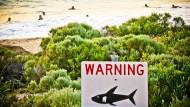 Vor Australien beginnt die Jagd auf Haie