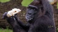 Europas ältester Gorilla feiert 61. Geburtstag