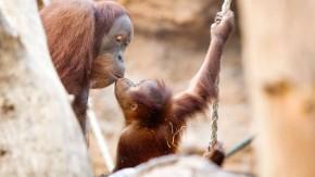 Orang-Utan - Der Frankfurter Zoo beherbergt im Borgori-Wald  eine Gruppe von Orang Utans