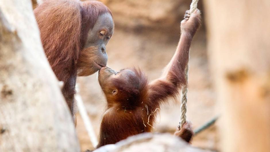 Das dreijährige Orang-Kind Sayang (rechts) und sein großer Bruder Lucu im Frankfurter Zoo