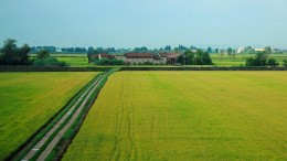Reisanbau von Klimawandel bedroht