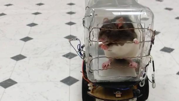 Ratten können jetzt Autofahren