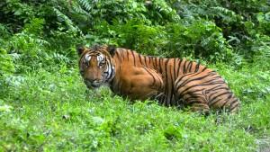 Zahl der Tiger in Indien auf knapp 3000 gestiegen