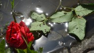 Anwohner legten  als Zeichen der Trauer  Blumen  ins Wasser des Teichs, aus dem die Geschwister am Samstag nur noch tot geborgen werden konnten.