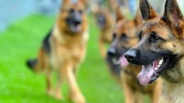 Schäferhunde verletzen Vater und zwei Kinder schwer