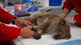 Koalas kämpfen ums Überleben