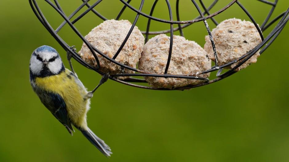 Je fetter das Futter, desto zufriedener der Vogel: Blaumeise im Schlaraffenland