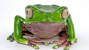 Warum Froschgift als Wundermittel Karriere macht