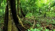 Einzigartiger Baum im Regenwald in Gefahr