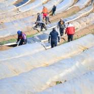 Die Corona-Krise sorgt auf deutschen Feldern für Mangel bei den Erntehelfern.