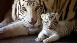 Weiße Tigerwelpen geboren