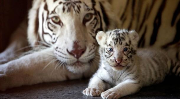 Nachwuchs Für Vanilla Weiße Tigerwelpen Geboren