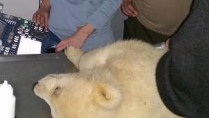 Eine artgerechte Eisbärenhaltung im Zoo ist nicht möglich