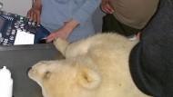 Eisbär Fritz am Montag beim Ultraschall im Leibniz-Institut für Zoo- und Wildtierforschung.