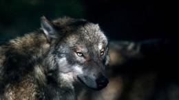Wieder mehr Wolfsrudel in Deutschland