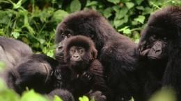 Gier im Gorilla-Land