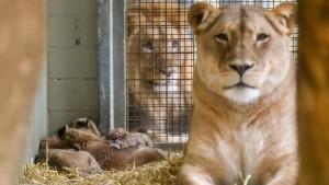 Löwenmutter tötet abermals zwei Junge