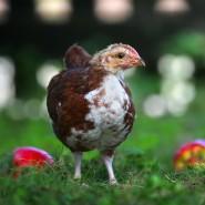 Dieses kleine Hühnerwesen ahnt nicht, was ihm blüht