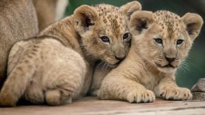 Nachwuchs für seltene Löwenart