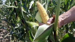 Minister wollen Gen-Mais aus Deutschland heraushalten