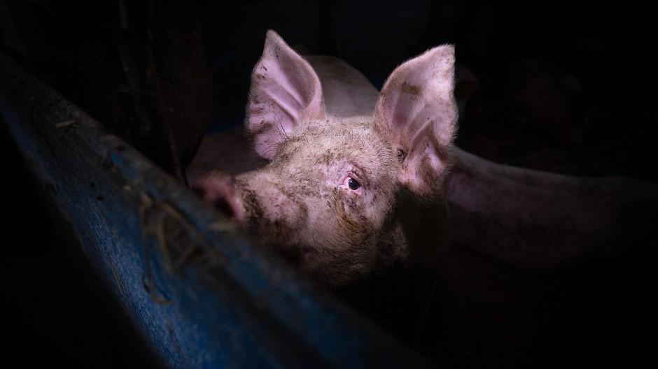 Sein Blick klagt an: Das Schwein ist kein Objekt.