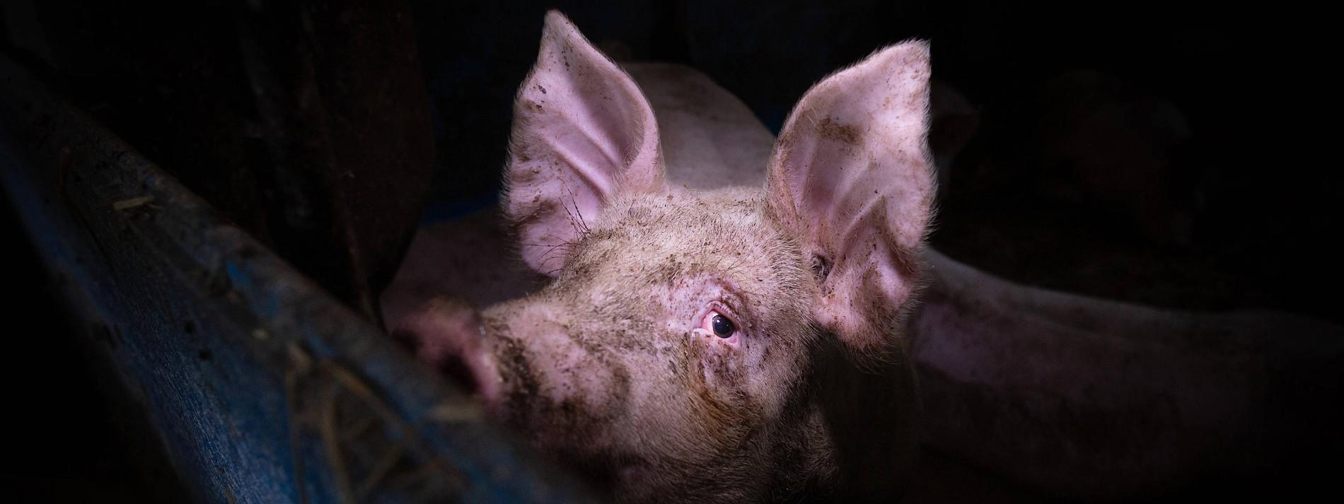Wieder schwein jahre ein alle wir schlachten Alle Jahre