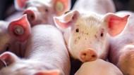Klug, sensibel und geboren, um getötet zu werden: Im Jahr 2019 haben 55 Millionen Schweine in deutschen Schlachthöfen ihr Leben gelassen.