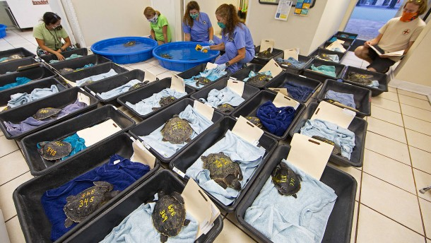 Unterkühlte Meeresschildkröten zum Aufwärmen nach Florida geflogen