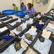 Mitarbeiter des Schildkrötenkrankenhauses in Florida kümmern sich um die unterkühlten Atlantik-Bastardschildkröten