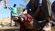 Rettungsaktion für Kaimane in Paraguay