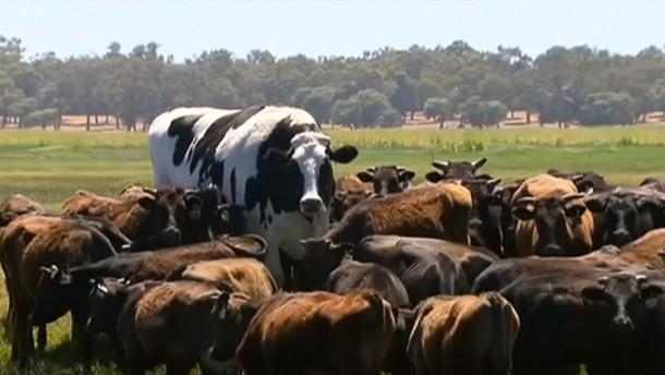Riesen-Rind Knickers ist zu groß für den Schlachthof