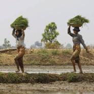 Frauen arbeiten auf einem Reisfeld in Myanmar.