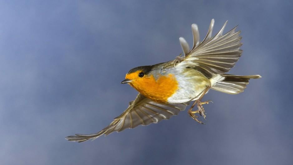 Rotkehlchen sind schon lange ideale Tiermodelle für die Vogelzugforschung.