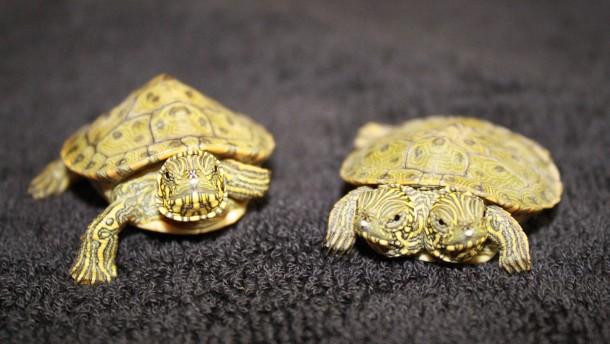 Zweiköpfige Schildkröte in Amerika geboren