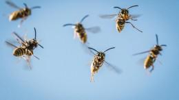 Immer mehr Wespen im Anflug