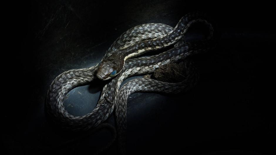 Eine junge Boomslang, kurz vor dem Häuten. Das Gift dieser Baumschlange greift in die Blutgerinnung ein und wäre tödlich. Es wirkt aber so langsam, dass den Gebissenen meist genügend Zeit bleibt, sich im Krankenhaus ein Gegenmittel spritzen zu lassen.