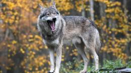 EU will Wolfsschäden vollständig erstatten
